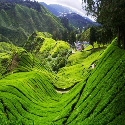 tea plantation cameron highlands tours